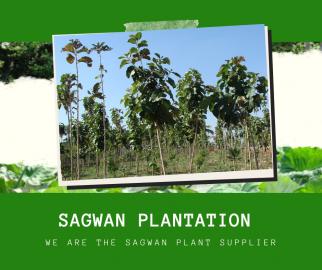 Sagwan Plants