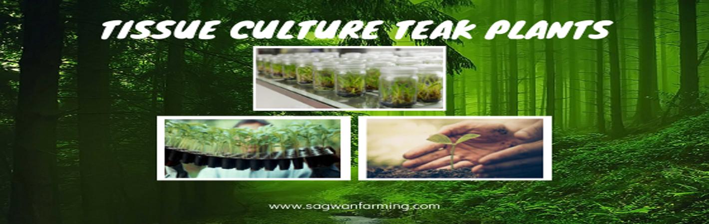Sagwan Farming Process